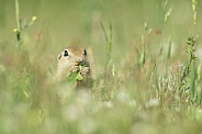 Ground Squirrel (Spermophilus)