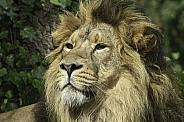 Asiatic Lion Close Up Face Shot