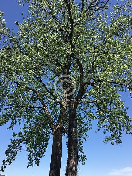 Tall tree against the blue sky
