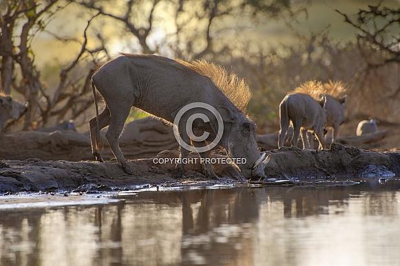 Warthogs at Dawn