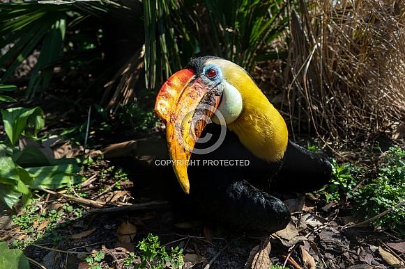 Knobbed hornbill bird