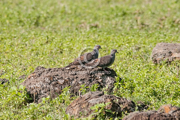 Dusky Turtle Doves