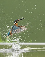 Common Kingfisher Emerging from the Water