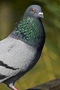 Rock Pigeon (Columba livia)