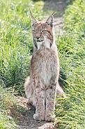 Northern Eurasian Lynx in Grass