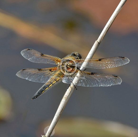 Four Spot Chaser Dragonfly