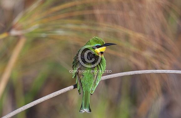 Little Bee-Eater - Okavango Delta