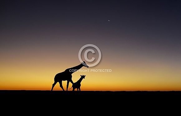 Giraffes Silhouetted At Sunset