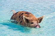 Pig Swimming (sow)