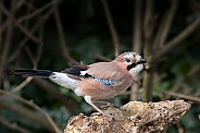 Jay on Branch