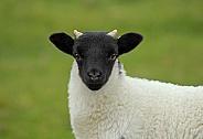Scottish Blackface