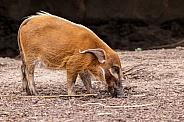 Red River Hog Snuffling Foraging Full Body