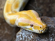 Albino Pythons (PYTHON MOLURUS)