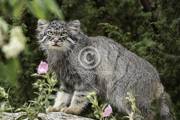 Manul/Pallas Cat Standing On A Rock