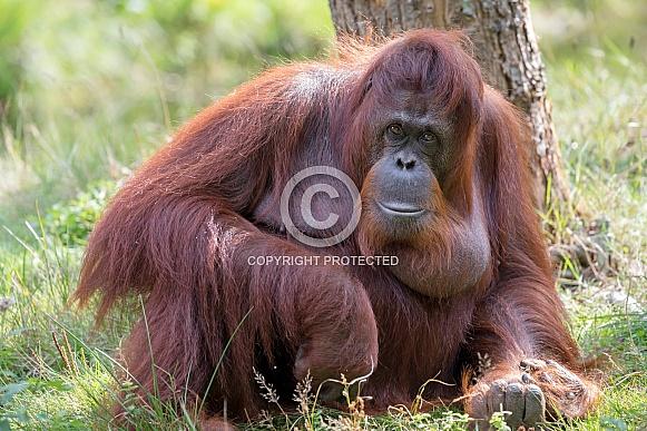 Borneose orang-oetan (Pongo pygmaeus)