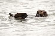 Wild Sea Otter in Alaska