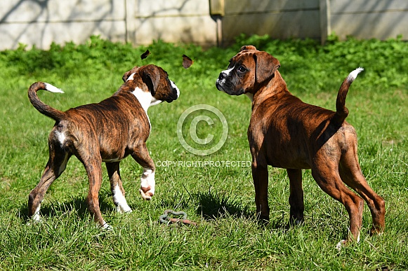 Boxer puppies watching the butterflies