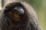 Red Titi Monkey Close Up Looking Upwards