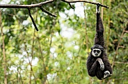 Lar Gibbon Hanging From A Branch