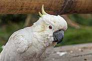 Lesser Sulfer Crested Cockatoo