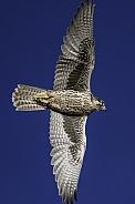 Prairie Falcon Falconry