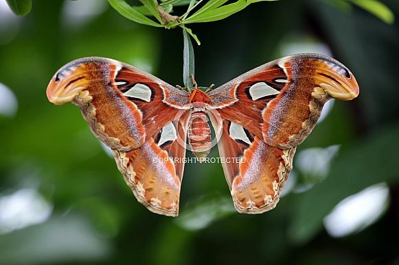Atlas Butterfly