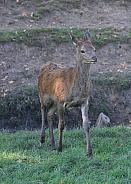 Roaring rut young deer