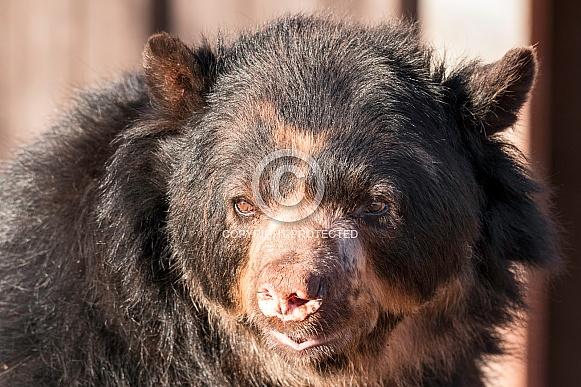 Andean Bear Face Shot