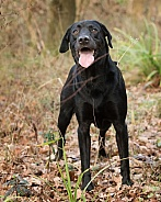 Working Black Labrador Retriever