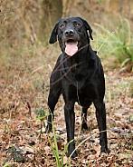 Working Black Labrador Retriever