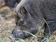 Grey Mini Pig