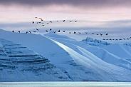 Flock of Geese - Liefdefjord - Svalbard Islands