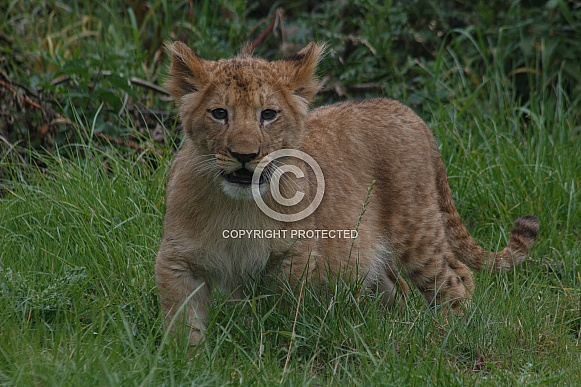 Lion Cub Standing In Grass Facing Forwards
