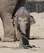 Baby Asian Elephant Facing Forward