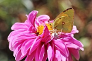 Crab Spider and Butterfly on Dahlia Flower
