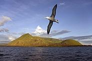Black browed Albatross - Ecuador Volcano - Galapagos Islands