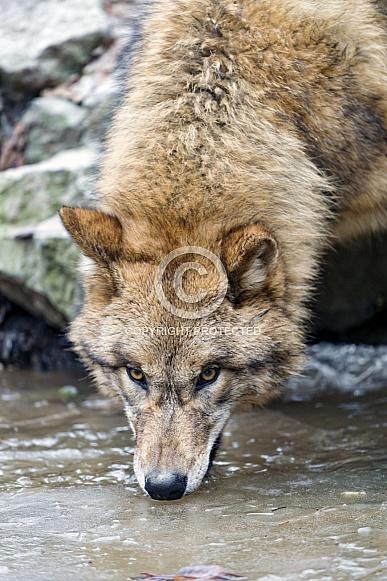 Grey Wolf Drinking
