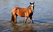 Wild horse standing in the river