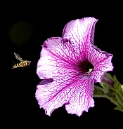 Pink flower with Hover fly