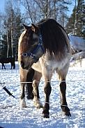 Connemara horse
