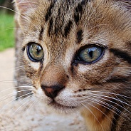 European Shorthaired Cat