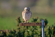 Burrowing owl sitting on a post