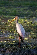 Yellow Billed Stork