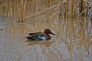 Duck - Cinnamon Teal