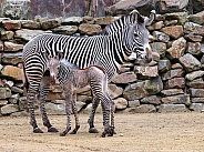 Zebra mother with child
