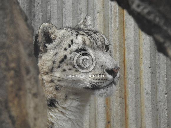 Snow Leopard on alert
