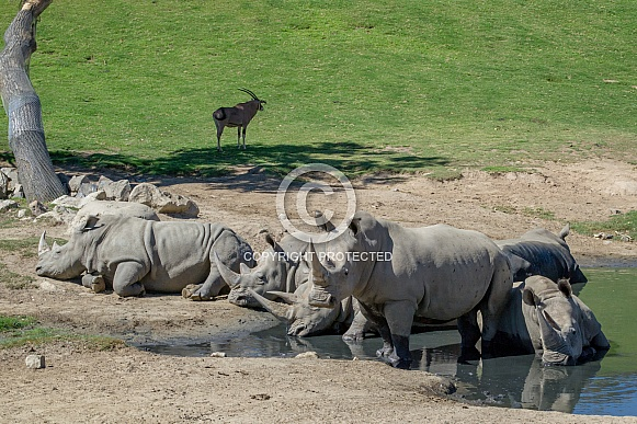 Southern White Rhinoceros Herd