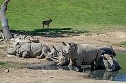 Southern White Rhinoceros Herd