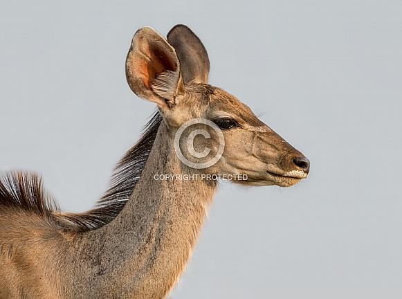 Female Kudu Antelope