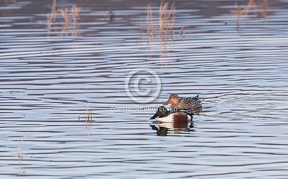 Northern Shoveler Duck Pair